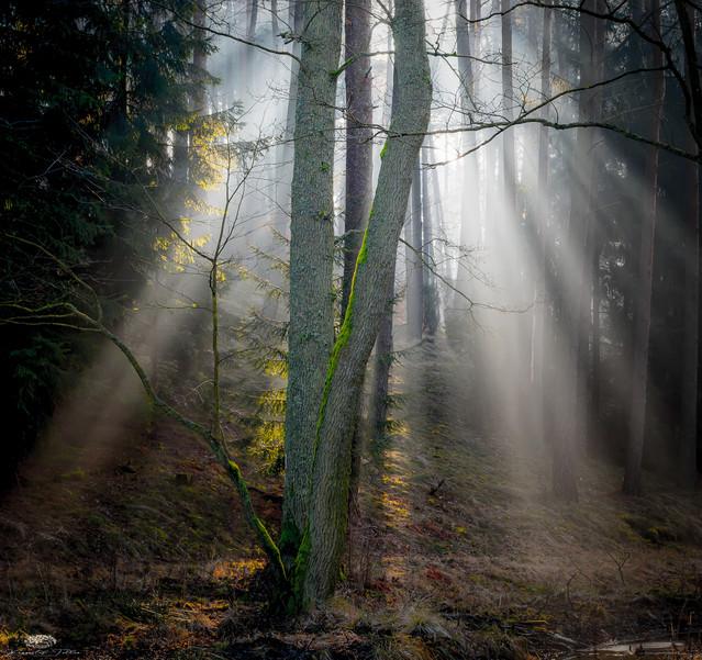 Promienie światła w lesie w mglisty poranek Krzysztof Tollas