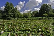 broonzy gdy w ogrodzie botanicznym zakwitną nenufary