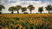 Piotr Schmidt Sunflowers