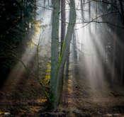Krzysztof Tollas Promienie światła w lesie w mglisty poranek