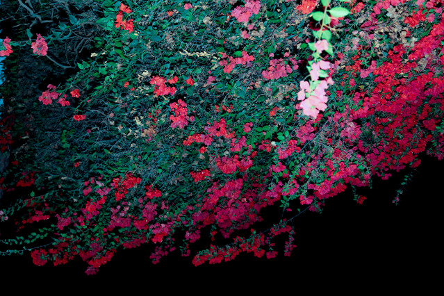 Hotel Majoro. Upojne zapachy kwiatów po zmroku. Nazca. Peru.