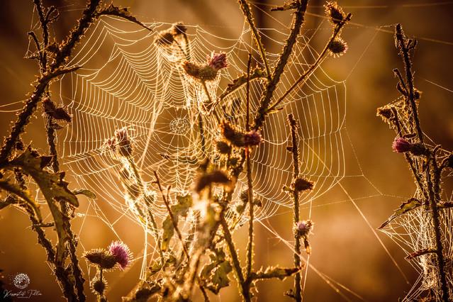 Spider's web Krzysztof Tollas #327192