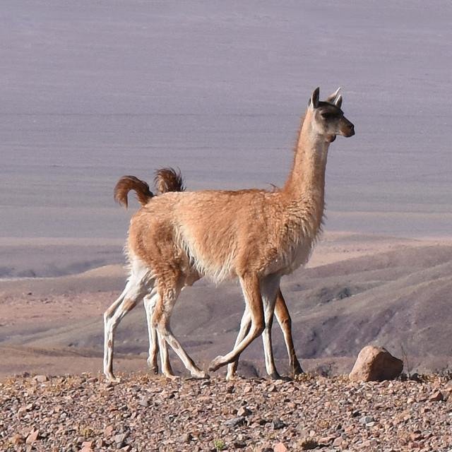 Wikunia andyjska zwierze o dwóch ogonkach i ośmiu nogach