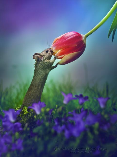 Miłośnik kwiatowych aromatów :) Myszkin :) macrofun #303090
