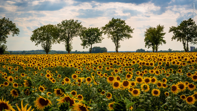 Sunflowers Piotr Schmidt #325747